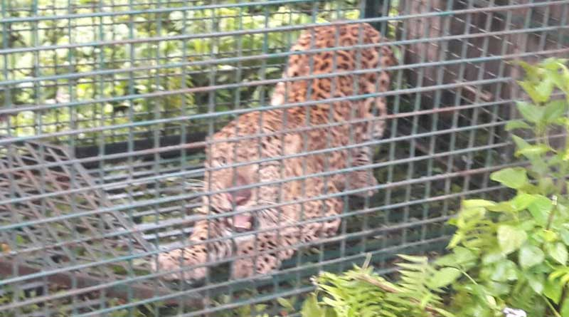 Another leopard caged in Siliguri