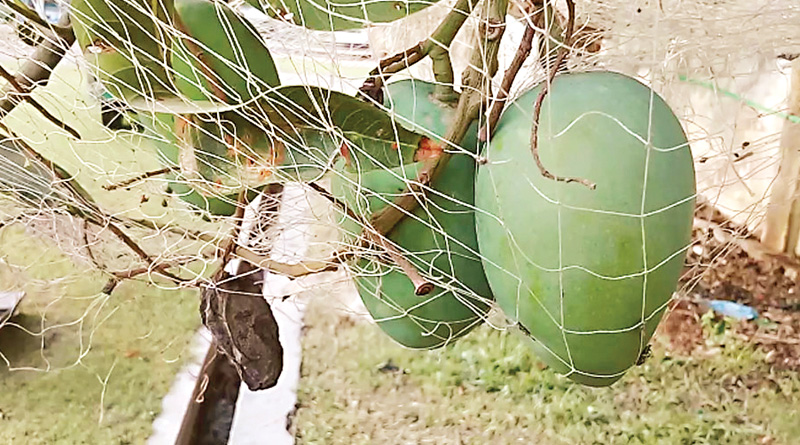 Nipah scare in Malda, owners cover mango trees with mosquito nets