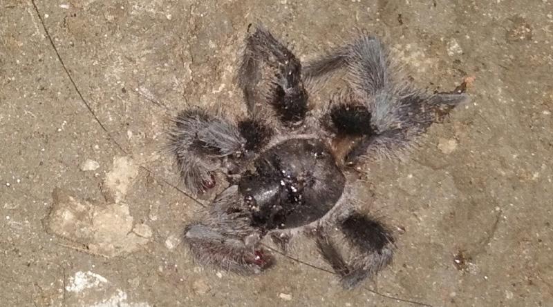 Woman taken ill after tarantula bite in Garia
