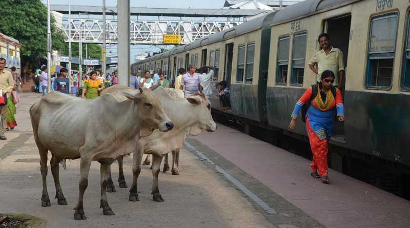 Cows are making problem in Katwa station