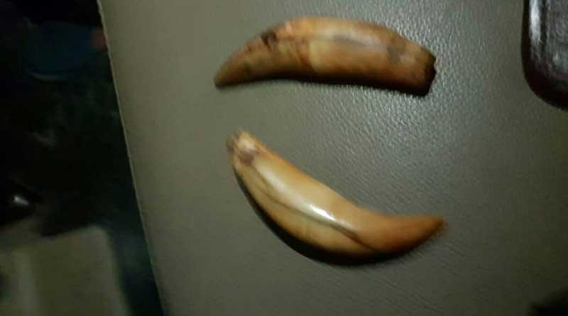 Tiger teeth seized in Malbazar