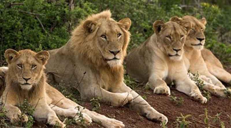 21 Lion Deaths In 18 Days At Gir