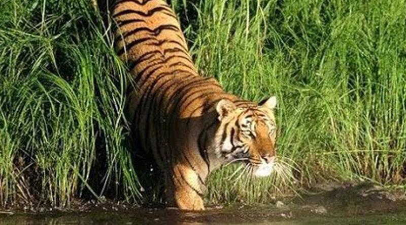 Fisherman killed by royal Bengal tiger in Sunderban