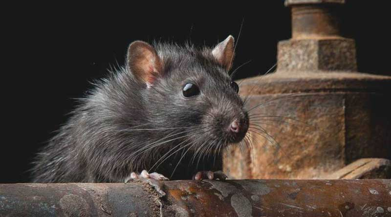 Rats have been causing diseases, panic in the city
