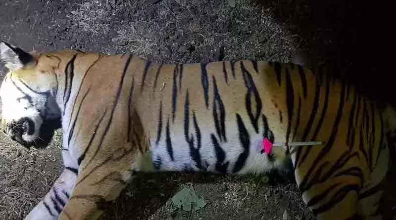 Tigress Avni shot dead in Maharashtra