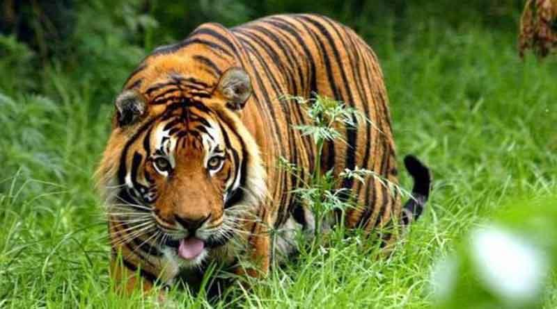 Tigress killed in Uttar Pradesh