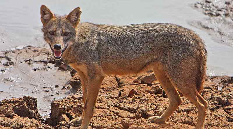 Jackal killed in Tamil Nadu after country bomb covered in animal fat