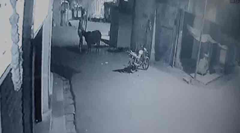 Cow saves calf from thieves