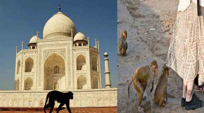 Monkey menace in Tajmahal