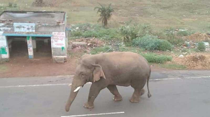 Elephant on National Highway in Bankura
