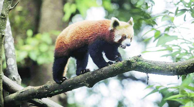 Red Pandas will be released in forest