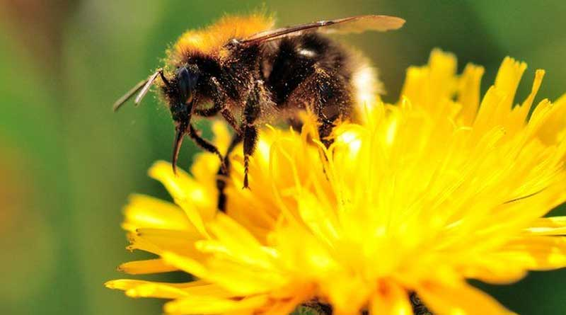 Hoverbees are in danger in Britain which help poliination naturally