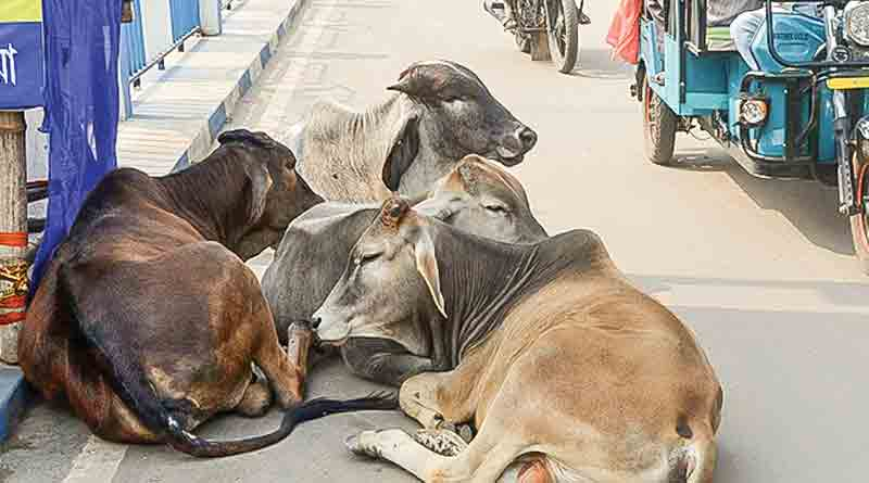 Civic volunteers to search cow owners