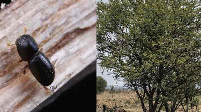 A small insect kills big trees into the dense forest of South Africa