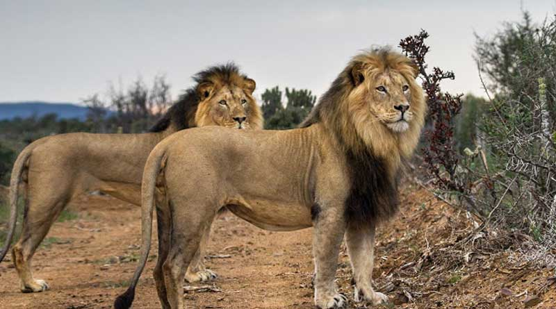14 lions have been lost from Krugar National Park,South Africa.