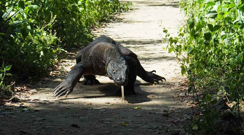 Local administration trying to save Indonesia's Comodo Dragons