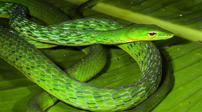 vine snake from the Western Ghats that dates back 26 million years