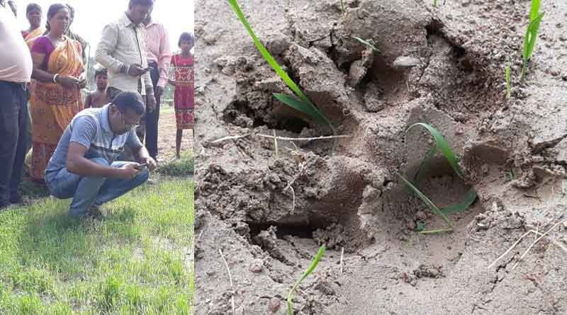 Tiger paw marks found at Chandrakona, forest officials launch hunt