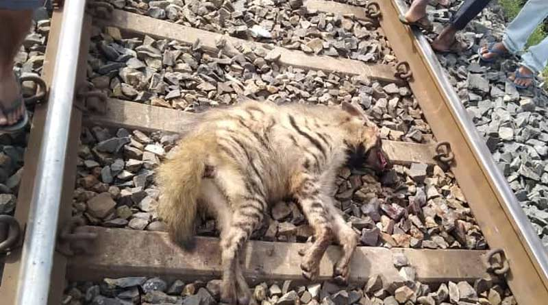 Train crushes Hyena to death in West Bengal's Purulia