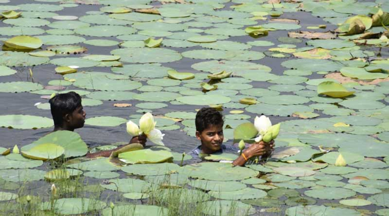 No sufficient lotus for Durga Puja, exported from Odissa