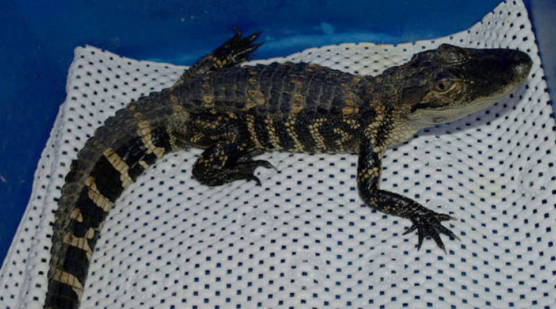 small-alligator