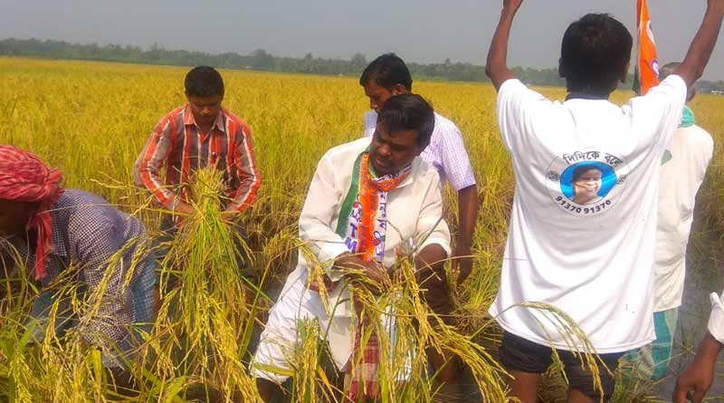TMC MLA Shyamal Mandal on the paddy field with farmers at Canning