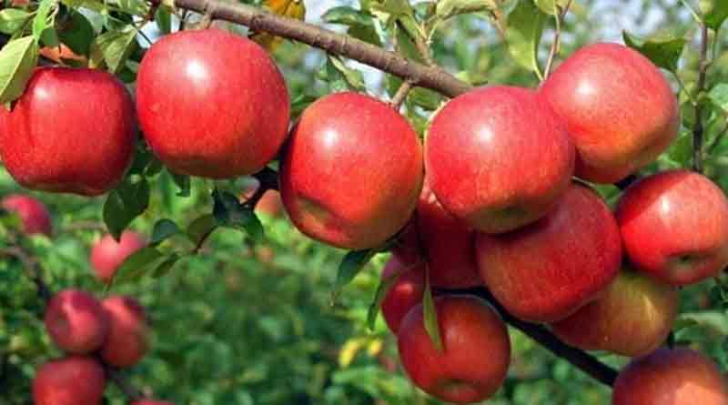 Apple-Cultivation-2
