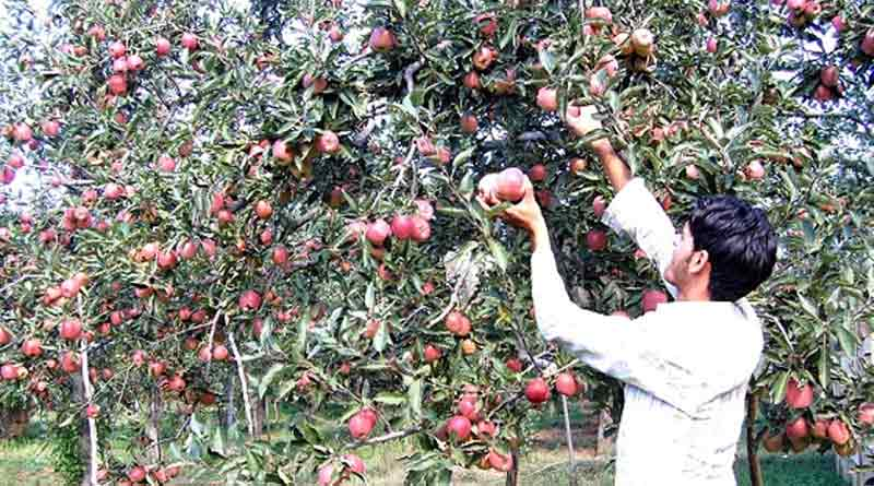 Apple-Cultivation