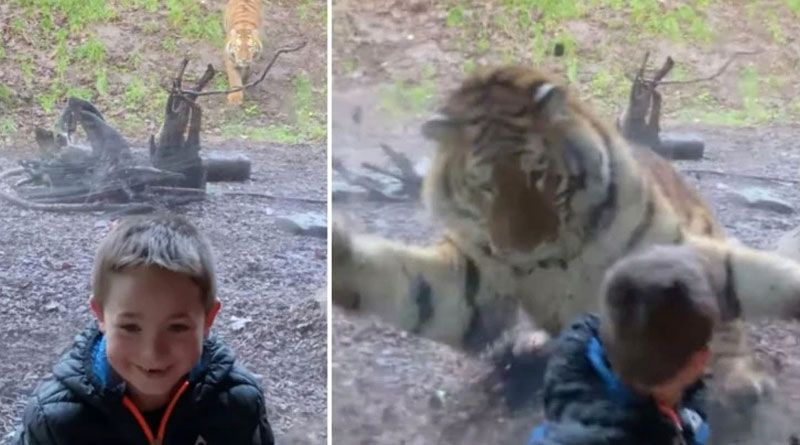 A scary video of tiger jumping on a baby is going viral