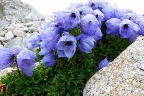 himalaya-new-flowers