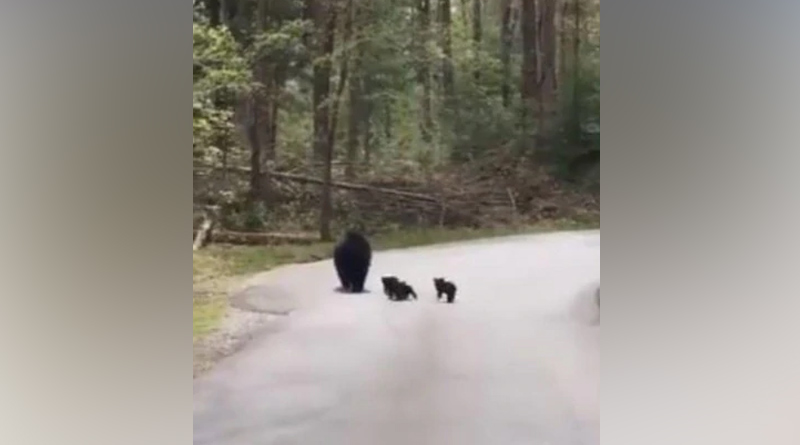 Video of bear crossing a forest road with its cubs goes viral