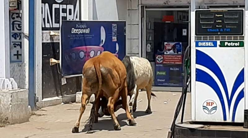 Two bulls were vandalized a petrol pump while fighting in Purulia
