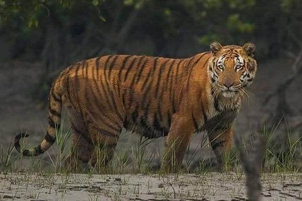 Royal-Bengal Tiger