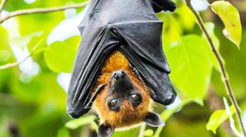 Coronaviruses found in two Indian bat species, says ICMR report
