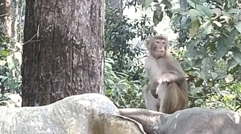 Monkeys are 'begging' for food at Dooars during lockdown