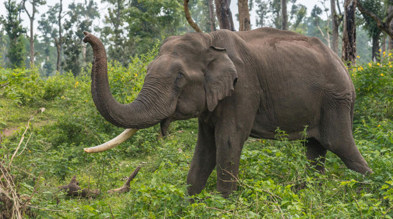 In a Shocking incident Elephant electricuted at Nagrakata Tea Garden