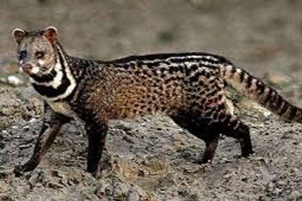 CIVET-CAT-2