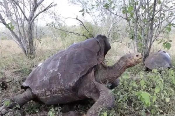 Giant-tortoise-Diego