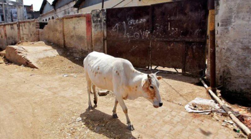 Cow fed explosives in Rajasthan village, case filed   Sangbad Pratidin