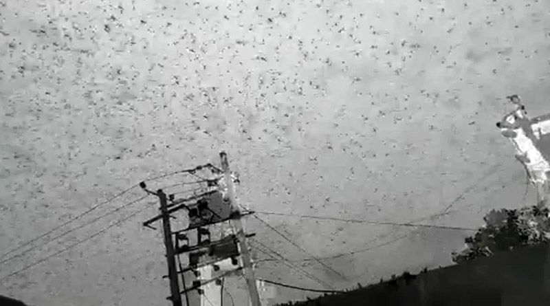 Locust attack in Gurugram, native staying home in close door