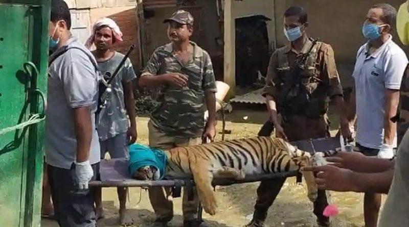 Assam-tigress
