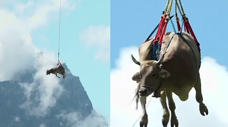 Farmer-Airlifts-Injured-Cow