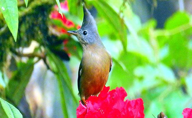 Bagora bird