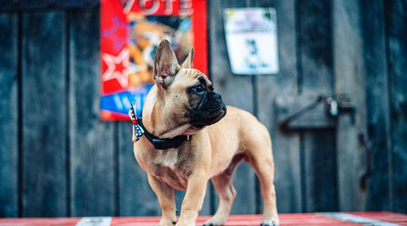 US Town Elects French Bulldog As Mayor। Sangbad Pratidin