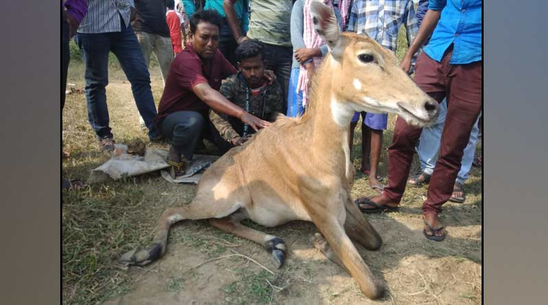 Nilgai rescued from the side of the national highway with injuries | Sangbad Pratidin