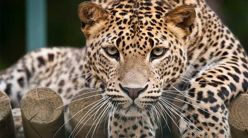 A Leopard of Mahananda Wildlife Sanctuary died in a accident| Sangbad Pratidin