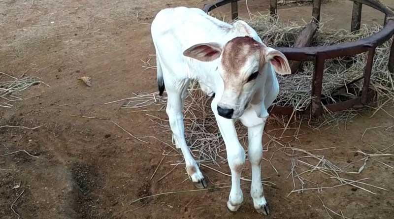 Childless farmer adopts calf as 'son' in Uttar Pradesh   Sangbad Pratidin