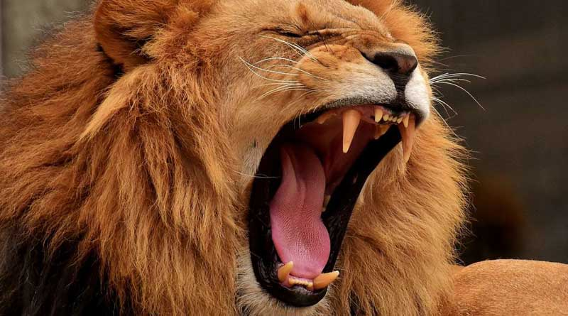 2 lions maul 17-year-old girl to death in Gujarat, feast on her body parts | Sangbad Pratidin