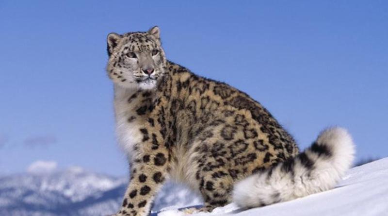 Three snow leopards test positive for coronavirus। Sangbad Pratidin