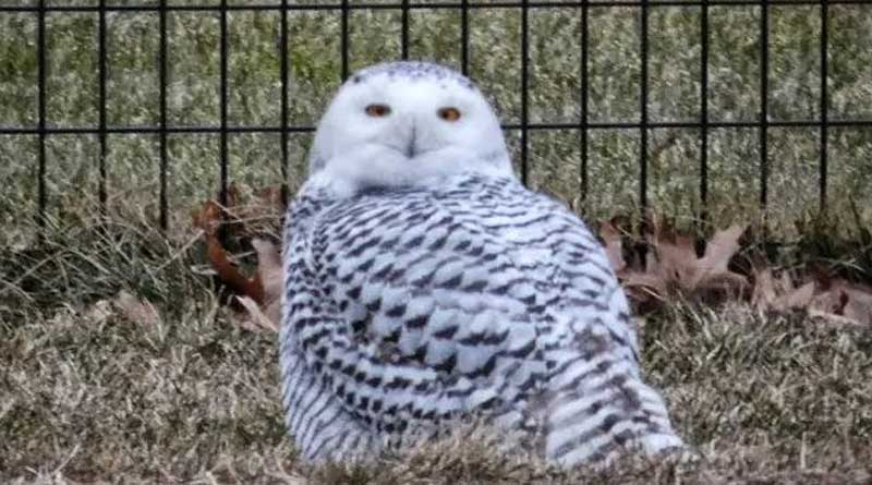 Snowy Owl Spotted In New York's Central Park For The First Time In Over A Century | Sangbad Pratidin